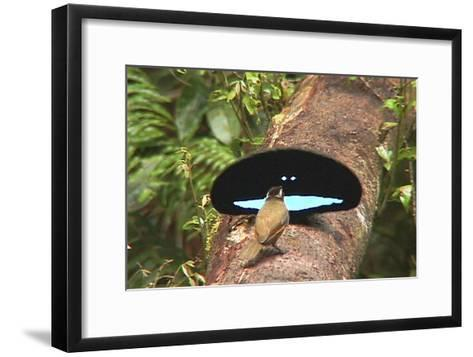 An Adult Male Superb Bird of Paradise Displays to a Female On a Log-Tim Laman-Framed Art Print