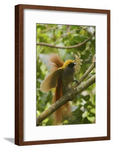 A Goldie's Bird of Paradise Adult Male Performing His Courtship Display.-Tim Laman-Framed Art Print