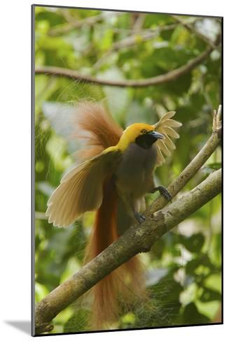 A Goldie's Bird of Paradise Adult Male Performing His Courtship Display.-Tim Laman-Mounted Photographic Print