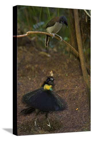 A Western Parotia Bird of Paradise Male Displays for a Female-Tim Laman-Stretched Canvas Print