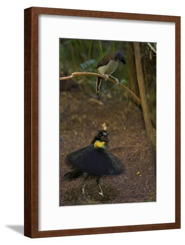 A Western Parotia Bird of Paradise Male Displays for a Female-Tim Laman-Framed Art Print