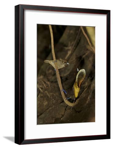 A Male Magnificent Bird of Paradise Displays for a Female-Tim Laman-Framed Art Print