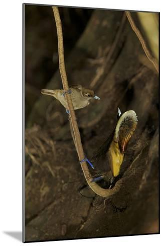 A Male Magnificent Bird of Paradise Displays for a Female-Tim Laman-Mounted Photographic Print