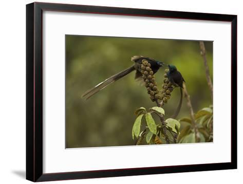 Female and Young Male Ribbon Tailed Astrapias Eat Schefflera Fruit-Tim Laman-Framed Art Print
