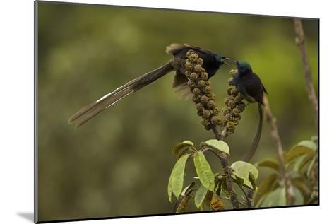 Female and Young Male Ribbon Tailed Astrapias Eat Schefflera Fruit-Tim Laman-Mounted Photographic Print