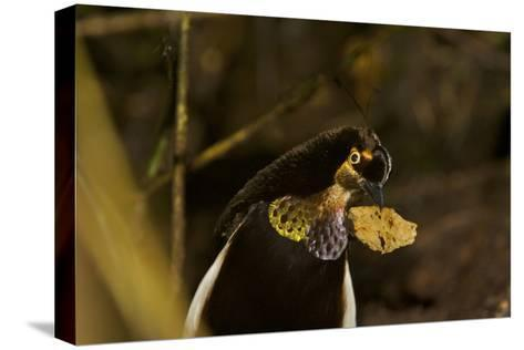 A Male Carola's Parotia At His Display Court-Tim Laman-Stretched Canvas Print