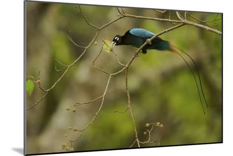 A Male Blue Bird of Paradise Foraging-Tim Laman-Mounted Photographic Print