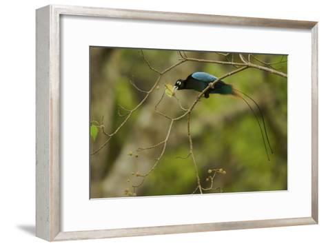 A Male Blue Bird of Paradise Foraging-Tim Laman-Framed Art Print