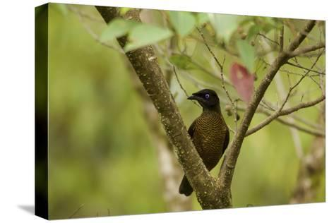 A Female Lawes's Parotia Bird of Paradise Foraging-Tim Laman-Stretched Canvas Print