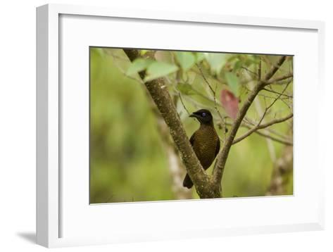 A Female Lawes's Parotia Bird of Paradise Foraging-Tim Laman-Framed Art Print