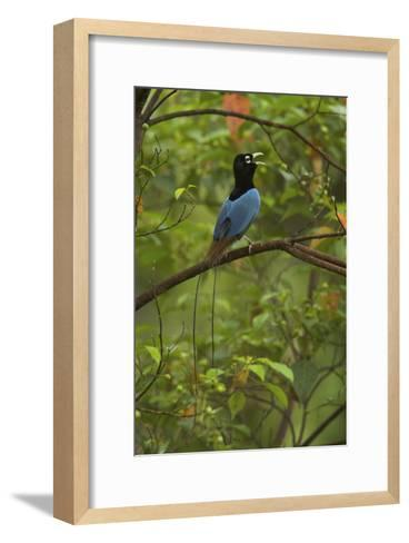 A Male Blue Bird of Paradise Calling-Tim Laman-Framed Art Print