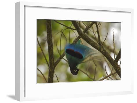 A Male Blue Bird of Paradise Performs Practice Display-Tim Laman-Framed Art Print