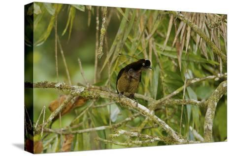 A Young Male Bronze Parotia Bird of Paradise in the Foja Mountains-Tim Laman-Stretched Canvas Print