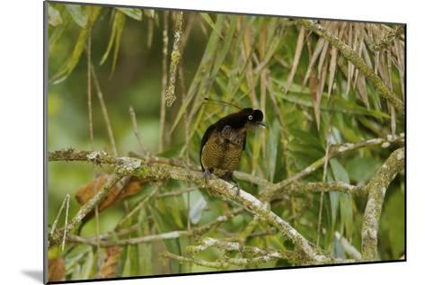 A Young Male Bronze Parotia Bird of Paradise in the Foja Mountains-Tim Laman-Mounted Photographic Print