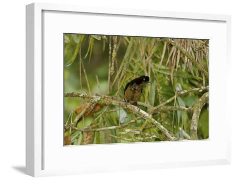 A Young Male Bronze Parotia Bird of Paradise in the Foja Mountains-Tim Laman-Framed Art Print