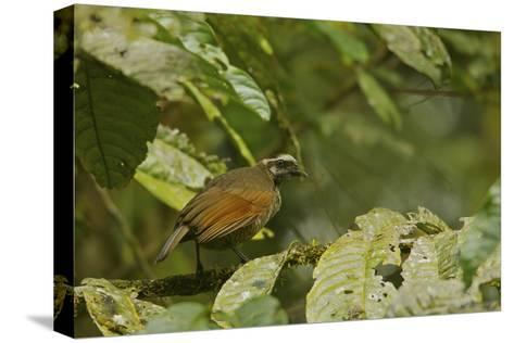 A Female Bronze Parotia Bird of Paradise in the Foja Mountains-Tim Laman-Stretched Canvas Print