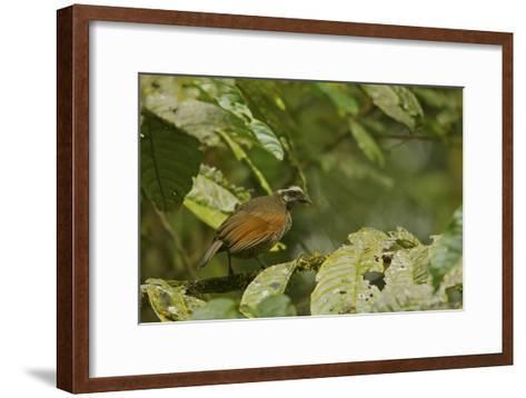 A Female Bronze Parotia Bird of Paradise in the Foja Mountains-Tim Laman-Framed Art Print