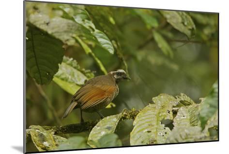 A Female Bronze Parotia Bird of Paradise in the Foja Mountains-Tim Laman-Mounted Photographic Print
