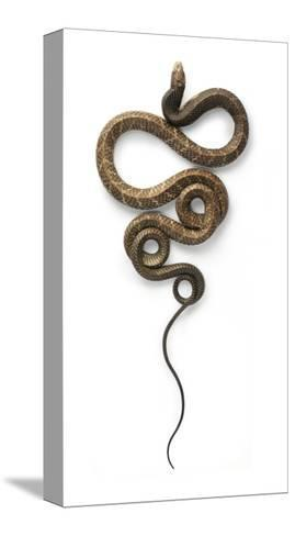 Cobra-Christopher Marley-Stretched Canvas Print