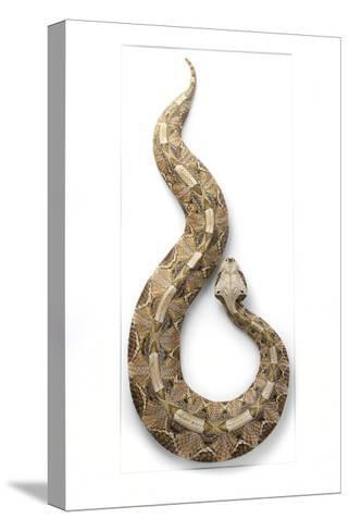 Gaboon Viper-Christopher Marley-Stretched Canvas Print