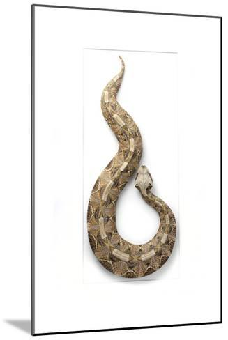 Gaboon Viper-Christopher Marley-Mounted Photographic Print