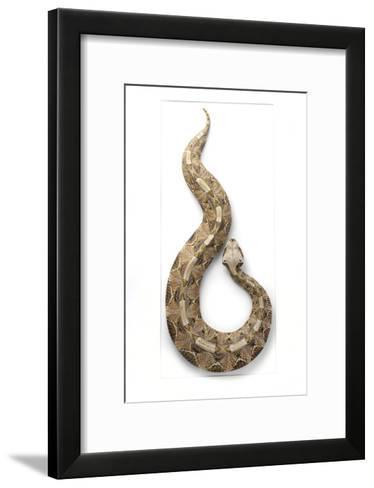 Gaboon Viper-Christopher Marley-Framed Art Print
