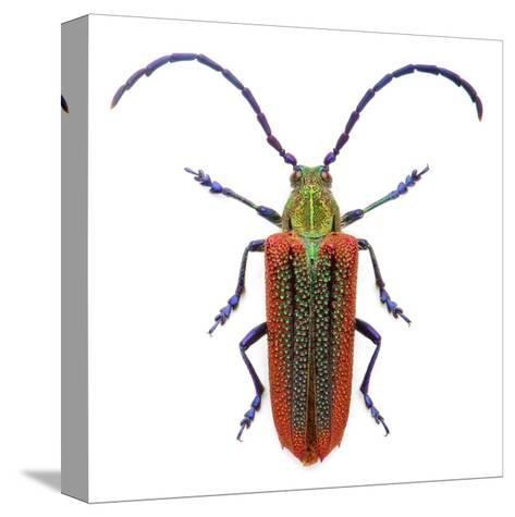 Oxypeltus Quadrispinosis-Christopher Marley-Stretched Canvas Print