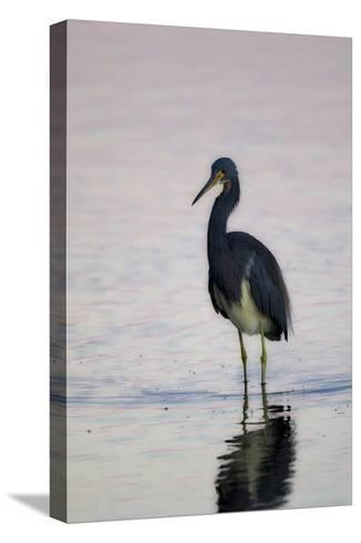 Portrait of a Tricolored Heron, Egretta Tricolor, Walking in Water-Robbie George-Stretched Canvas Print