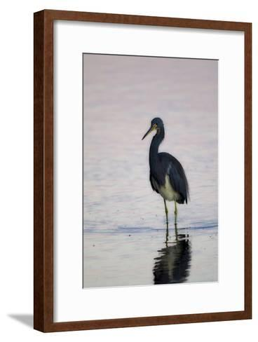 Portrait of a Tricolored Heron, Egretta Tricolor, Walking in Water-Robbie George-Framed Art Print