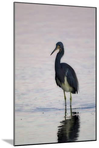 Portrait of a Tricolored Heron, Egretta Tricolor, Walking in Water-Robbie George-Mounted Photographic Print