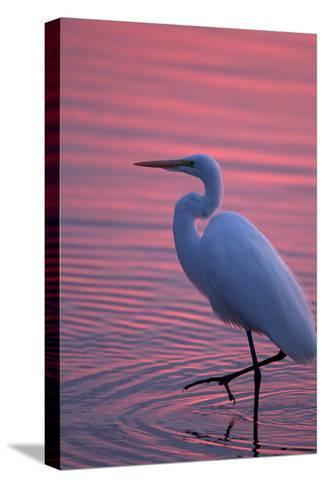 Portrait of a Great Egret, Ardea Alba, Walking the Shore at Sunset-Robbie George-Stretched Canvas Print