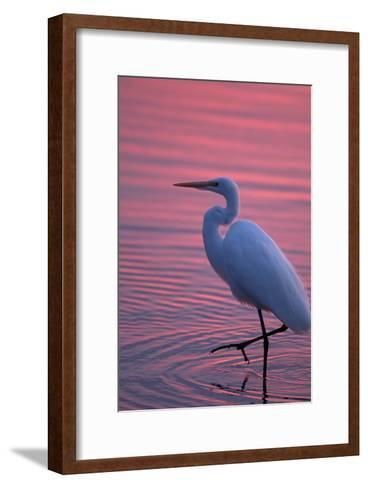Portrait of a Great Egret, Ardea Alba, Walking the Shore at Sunset-Robbie George-Framed Art Print