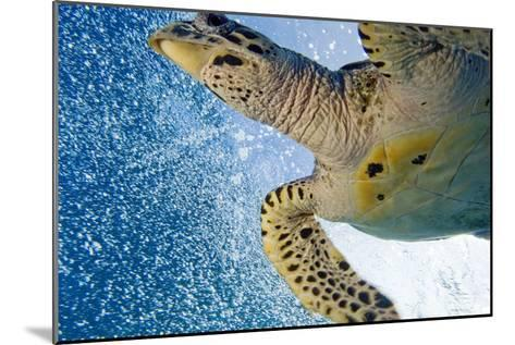A Critically Endangered Hawksbill Turtle-Carrie Vonderhaar-Mounted Photographic Print