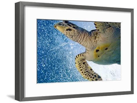 A Critically Endangered Hawksbill Turtle-Carrie Vonderhaar-Framed Art Print