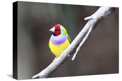 A Gouldian Finch Sits on a Tree Branch-Jill Schneider-Stretched Canvas Print