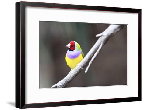 A Gouldian Finch Sits on a Tree Branch-Jill Schneider-Framed Art Print