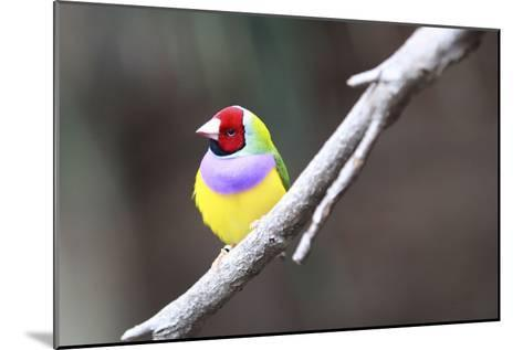 A Gouldian Finch Sits on a Tree Branch-Jill Schneider-Mounted Photographic Print