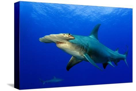A Great Hammerhead Shark and a Caribbean Reef Shark in the Background-Jim Abernethy-Stretched Canvas Print