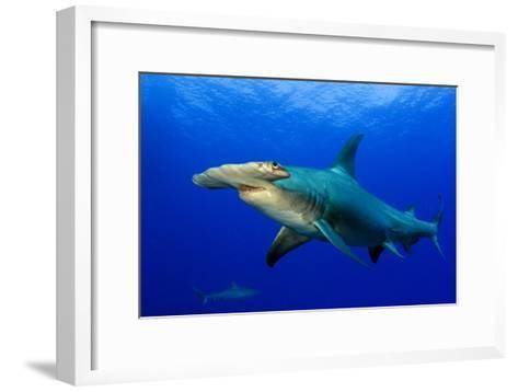 A Great Hammerhead Shark and a Caribbean Reef Shark in the Background-Jim Abernethy-Framed Art Print