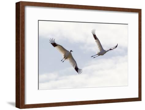 Portrait of a Whooping Cranes, Grus Americana, in Flight-Robbie George-Framed Art Print