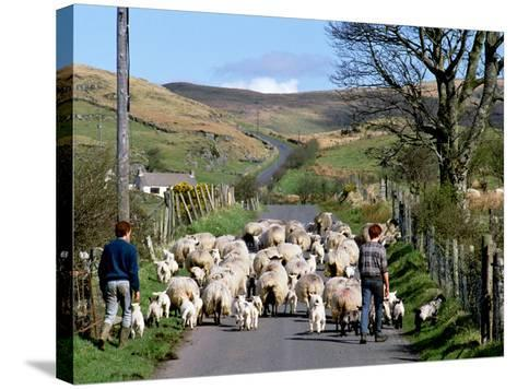 Irish Spring Lambs-Chris Hill-Stretched Canvas Print