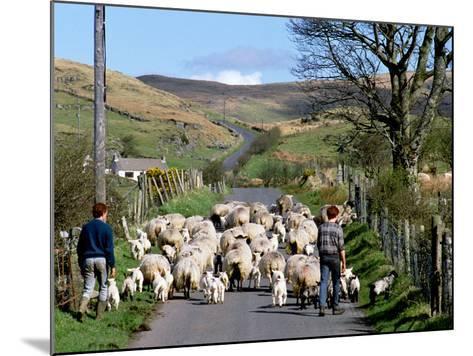 Irish Spring Lambs-Chris Hill-Mounted Photographic Print