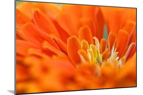 Extreme Close Up of An Orange Chrysanthemum Flower-Vickie Lewis-Mounted Photographic Print