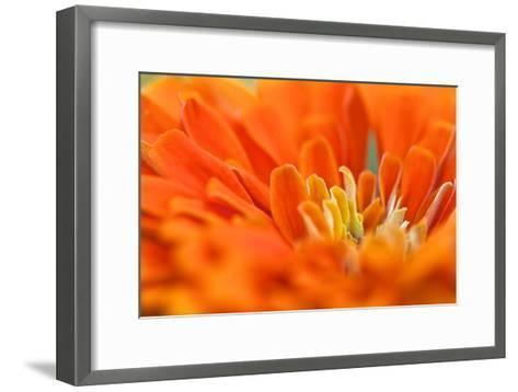 Extreme Close Up of An Orange Chrysanthemum Flower-Vickie Lewis-Framed Art Print