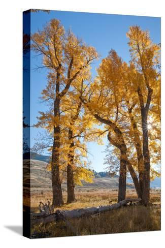 Backlit View of Cottonwood Trees with Autumn Foliage-Tom Murphy-Stretched Canvas Print