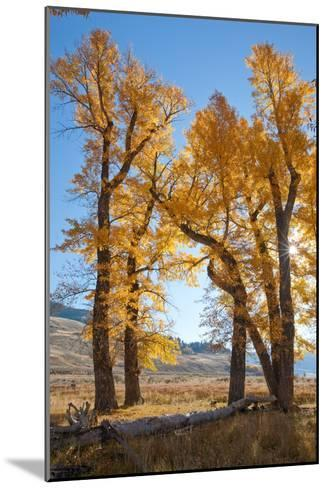 Backlit View of Cottonwood Trees with Autumn Foliage-Tom Murphy-Mounted Photographic Print
