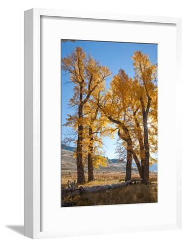 Backlit View of Cottonwood Trees with Autumn Foliage-Tom Murphy-Framed Art Print