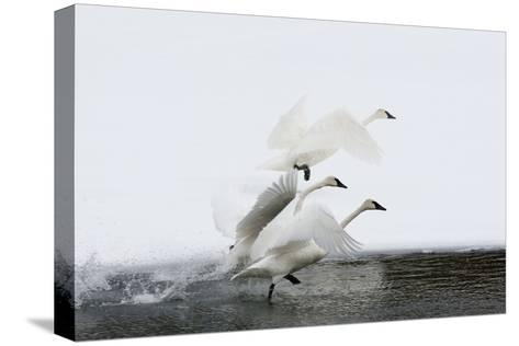 Trumpeter Swans Take Flight-Tom Murphy-Stretched Canvas Print
