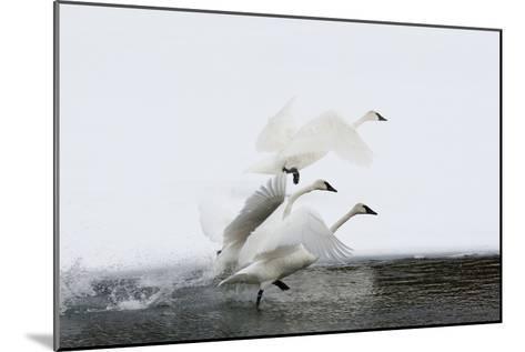 Trumpeter Swans Take Flight-Tom Murphy-Mounted Photographic Print