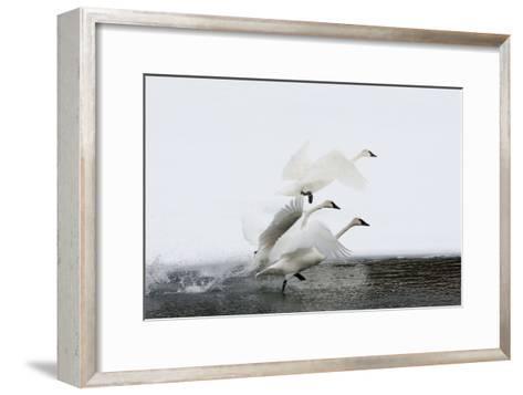 Trumpeter Swans Take Flight-Tom Murphy-Framed Art Print